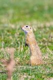 European ground squirrel, Souslik Spermophilus citellus natural environment. Wildlife stock image