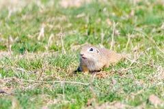 European ground squirrel, Souslik Spermophilus citellus natural environment. Wildlife royalty free stock photography