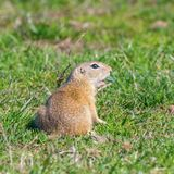 European ground squirrel, Souslik Spermophilus citellus natural environment. Wildlife royalty free stock image