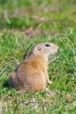 European ground squirrel, Souslik Spermophilus citellus natural environment. Wildlife royalty free stock photos