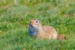 European ground squirrel, Souslik Spermophilus citellus natural environment. Wildlife royalty free stock images