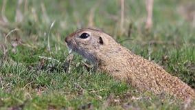 European ground squirrel, Souslik Spermophilus citellus natural environment stock video