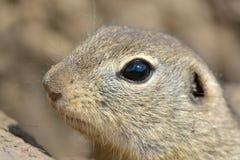 European Ground Squirrel Portrait in Springtime Stock Image