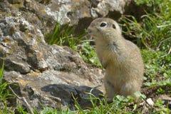 European Ground Squirrel or Souslik in Springtime Stock Photos