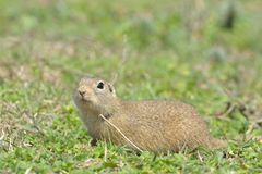 European Ground Squirrel or Souslik in Springtime. European Ground Squirrel or Souslik & x28;Spermophilus  citellus& x29; in Springtime, searching for Enemies Stock Photos