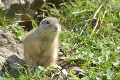 European Ground Squirrel or Souslik in Springtime. European Ground Squirrel or Souslik Spermophilus  citellus in Springtime, searching for Enemies Royalty Free Stock Photo