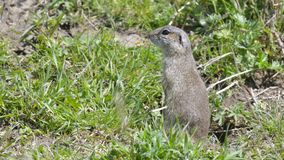 European Ground Squirrel or Souslik in Springtime. European Ground Squirrel or Souslik Spermophilus  citellus in Springtime, searching for Enemies Stock Images
