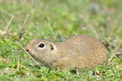 European Ground Squirrel or Souslik in Springtime. European Ground Squirrel or Souslik Spermophilus  citellus in Springtime, searching for Enemies Stock Photos
