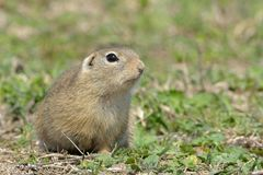 European Ground Squirrel or Souslik in Springtime. European Ground Squirrel or Souslik & x28;Spermophilus  citellus& x29; in Springtime, searching for Enemies Stock Images
