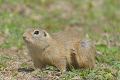 European Ground Squirrel or Souslik in Springtime Stock Image