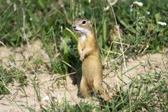 European ground squirrel / Spermophilus citellus Royalty Free Stock Photography