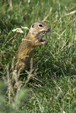 European ground squirrel / Spermophilus citellus Royalty Free Stock Image