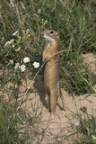 European ground squirrel / Spermophilus citellus Stock Images