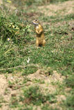 European ground squirrel / Spermophilus citellus Royalty Free Stock Images