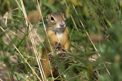 European ground squirrel / Spermophilus citellus Stock Image