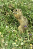 European ground squirrel / Spermophilus citellus Stock Photos