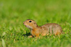 European ground squirrel (Spermophilus citellus). The European ground squirrel (Spermophilus citellus), also known as the European souslik grows to a length of Stock Images