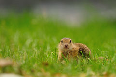 European ground squirrel (Spermophilus citellus). The European ground squirrel (Spermophilus citellus), also known as the European souslik grows to a length of Royalty Free Stock Photos