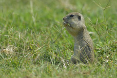 European ground squirrel Royalty Free Stock Images