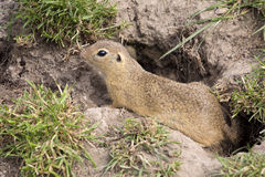 European ground squirrel, Spermophilus citellus is already scarce Royalty Free Stock Images