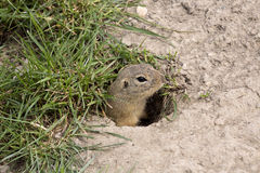 European ground squirrel, Spermophilus citellus is already scarce Royalty Free Stock Images