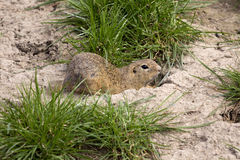 European ground squirrel, Spermophilus citellus is already scarce Stock Photography