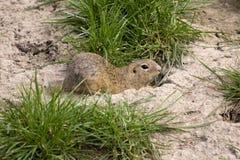 European ground squirrel, Spermophilus citellus is already scarce. One European ground squirrel, Spermophilus citellus is already scarce stock photography