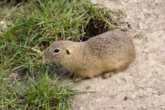 European ground squirrel, Spermophilus citellus is already scarce. One European ground squirrel, Spermophilus citellus is already scarce royalty free stock images