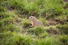 European ground squirrel, Spermophilus citellus is already scarce. One European ground squirrel, Spermophilus citellus is already scarce stock photos