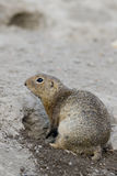 European ground squirrel Spermophilus citellus. Also known as the European souslik, species from the squirrel family Stock Photography