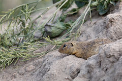 European ground squirrel Spermophilus citellus Stock Images