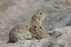 European ground squirrel Spermophilus citellus Stock Photography