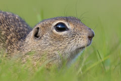 European Ground Squirrel, Spermophilus citellus. Closeup royalty free stock photography