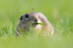 European Ground Squirrel, Spermophilus citellus. Closeup royalty free stock photo