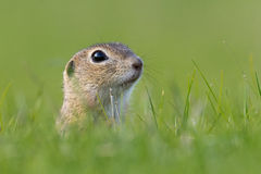 European Ground Squirrel, Spermophilus citellus. Closeup stock images