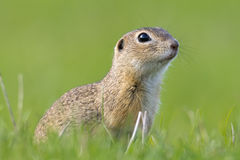 European Ground Squirrel, Spermophilus citellus. Closeup royalty free stock image