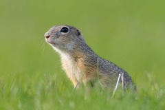 European Ground Squirrel, Spermophilus citellus. Closeup stock photos