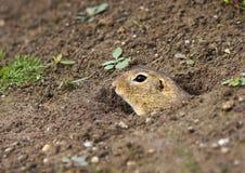 The European ground squirrel Spermophilus citellus. Color photo of European ground squirrel royalty free stock photos