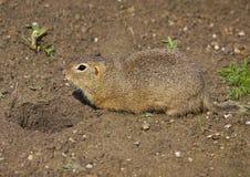 The European ground squirrel Spermophilus citellus. Color photo of European ground squirrel stock photo