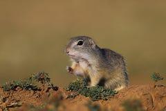 European ground squirrel (Spermophilus citellus). Cute European ground squirrel on field (Spermophilus citellus Stock Photo