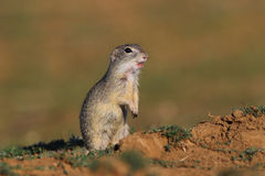 European ground squirrel (Spermophilus citellus). Cute European ground squirrel on field (Spermophilus citellus stock photography