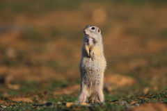 European ground squirrel (Spermophilus citellus). Cute European ground squirrel on field (Spermophilus citellus stock images