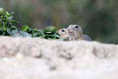 European ground squirrel Spermophilus citellus Stock Photo