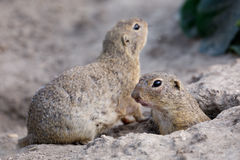 European ground squirrel Spermophilus citellus Royalty Free Stock Image