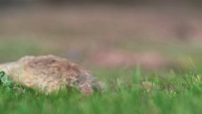 European Ground Squirrel Spermophilus citellus. In its natural habitat on spring on a fresh meadow stock footage