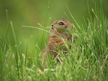 European ground squirrel (Spermophilus citellus) in grass Stock Photos