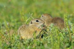European ground squirrel (Spermophilus citellus) Stock Photo