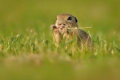 European ground squirrel - Spermophilus citellus in the grass, green background.  royalty free stock photos