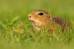 European ground squirrel - Spermophilus citellus in the grass, green background.  stock images