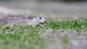 European Ground Squirrel Spermophilus citellus. In its natural habitat on spring on a fresh meadow stock video